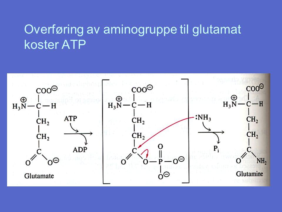 Overføring av aminogruppe til glutamat koster ATP