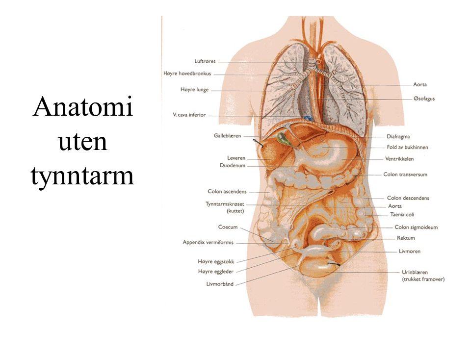 Anatomi uten tynntarm