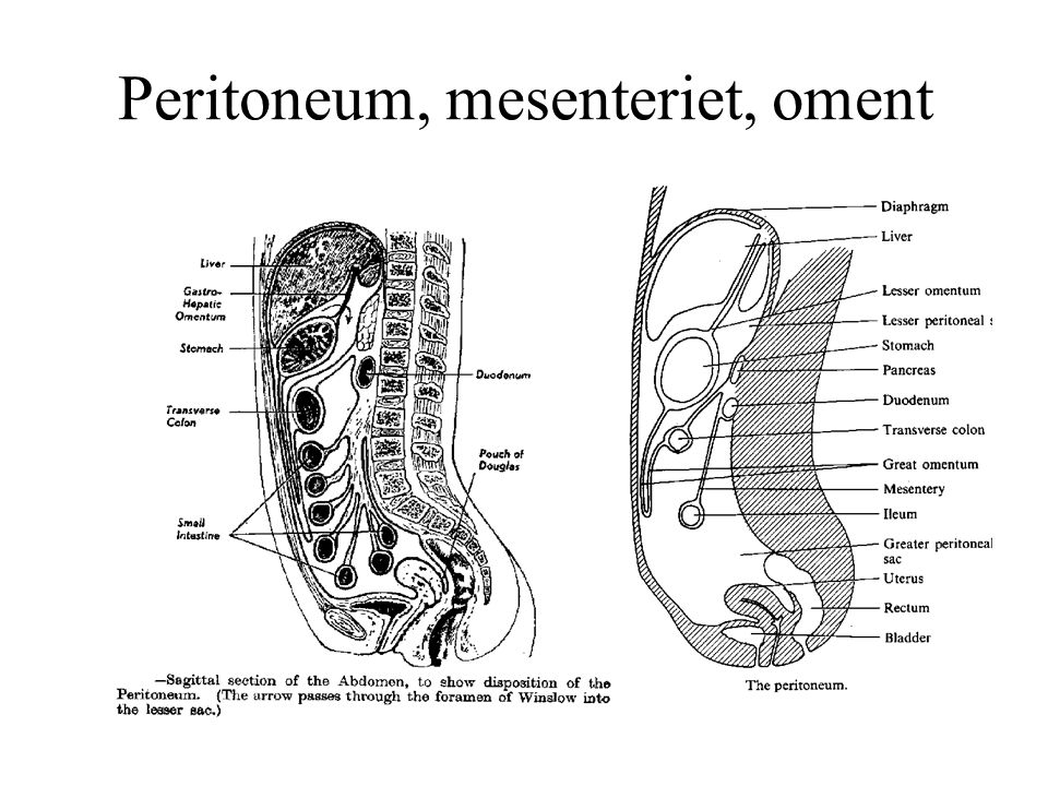 Peritoneum, mesenteriet, oment