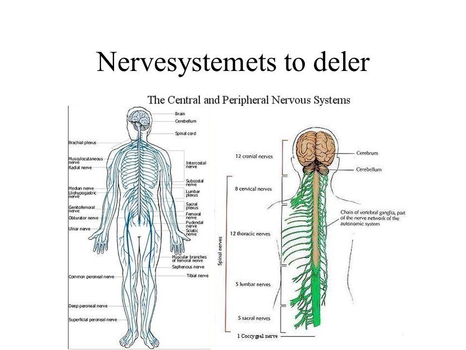 Nervesystemets to deler