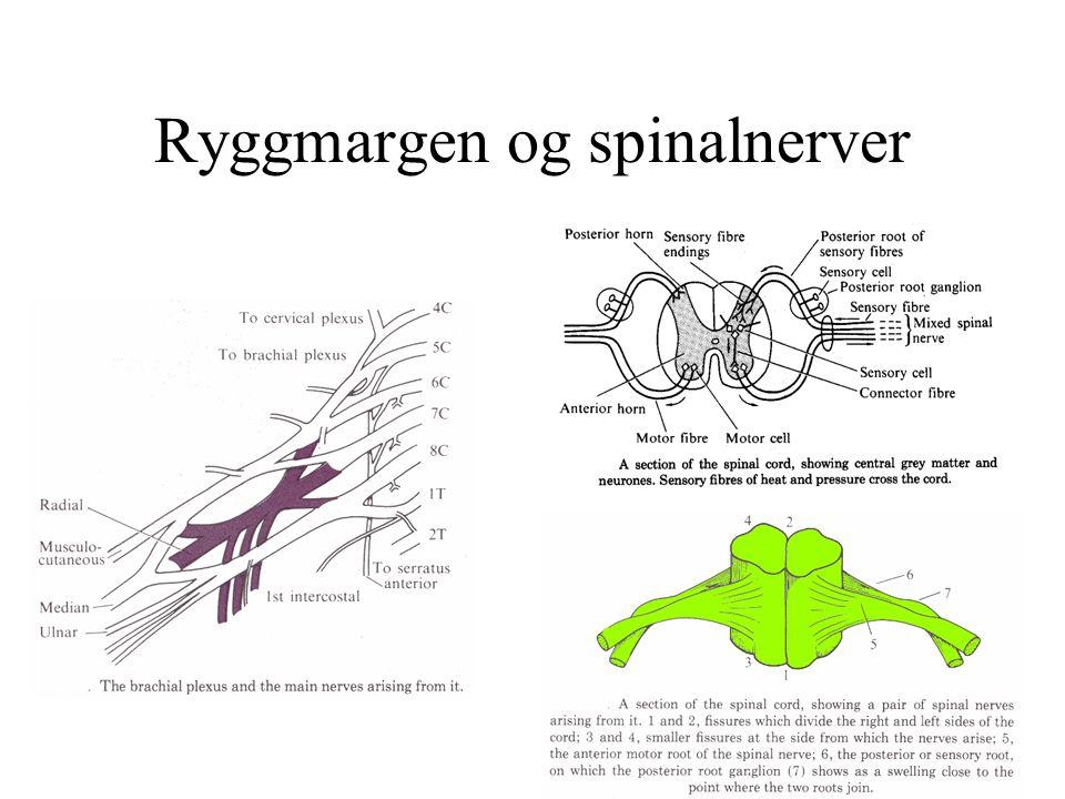 Ryggmargen og spinalnerver
