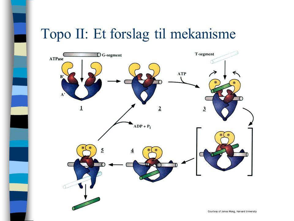 Topo II: Et forslag til mekanisme