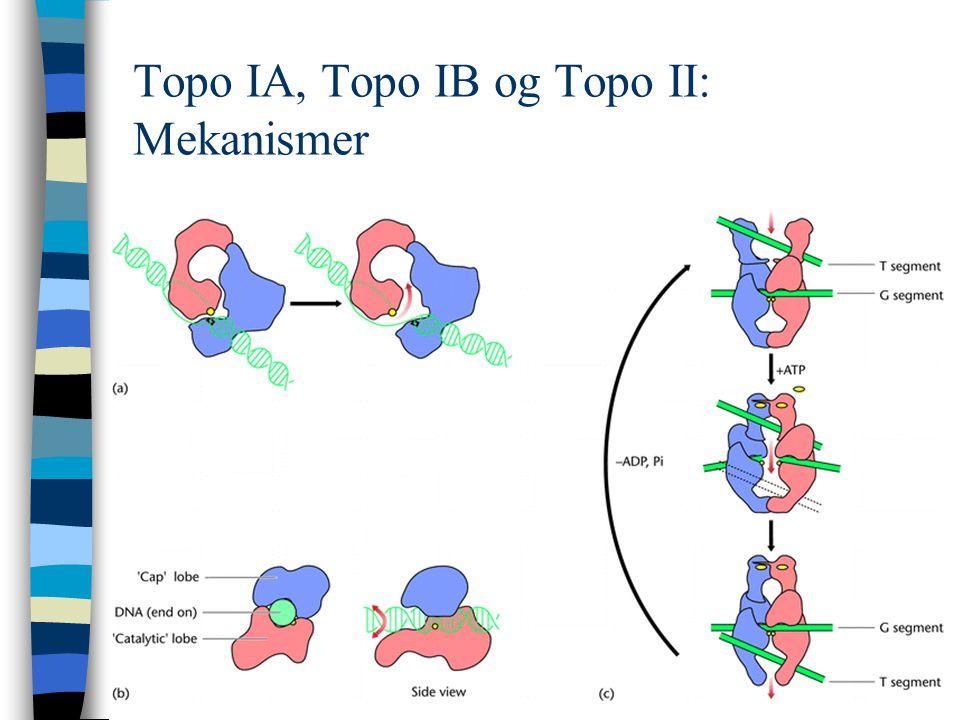 Topo IA, Topo IB og Topo II: Mekanismer