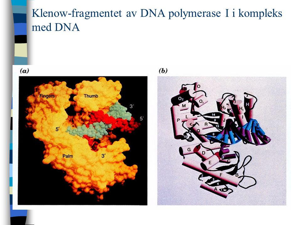 Klenow-fragmentet av DNA polymerase I i kompleks med DNA