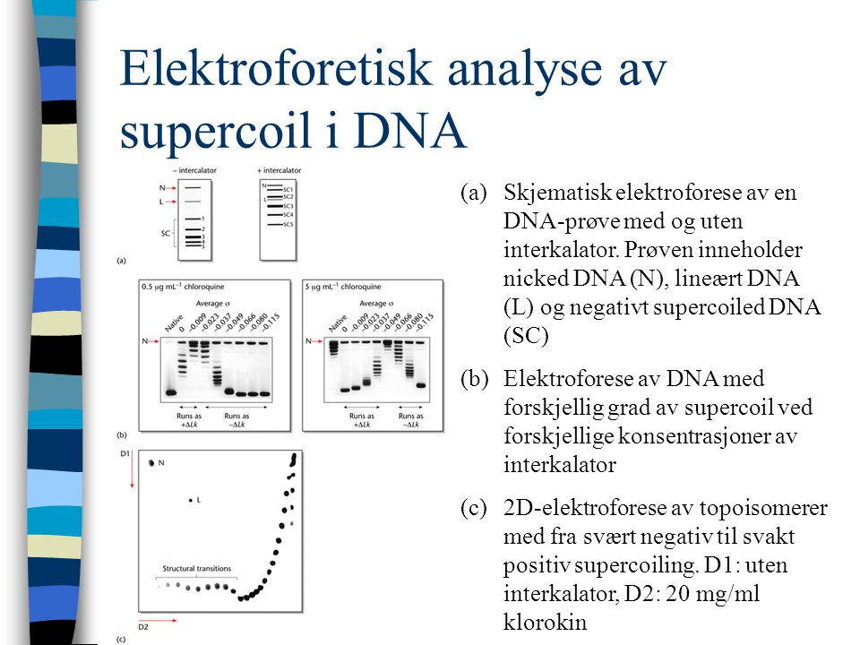 Elektroforetisk analyse av supercoil i DNA