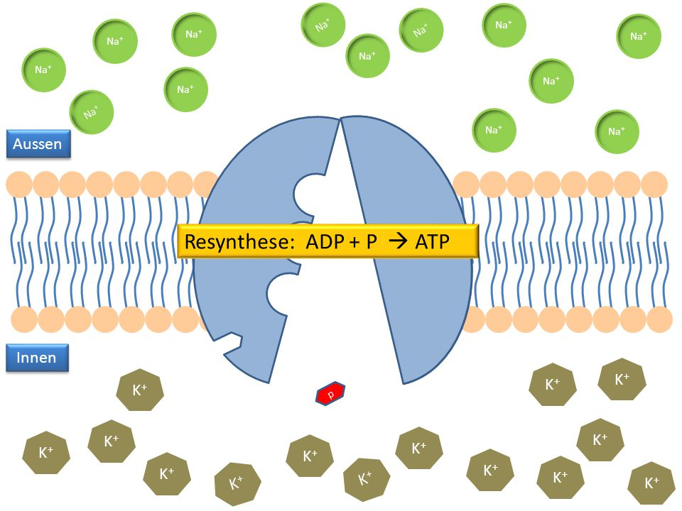 Resynthese: ADP + P  ATP
