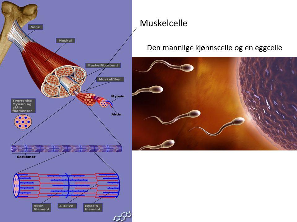Muskelcelle Den mannlige kjønnscelle og en eggcelle