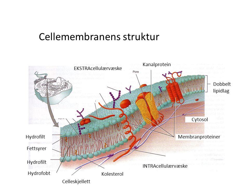 Cellemembranens struktur