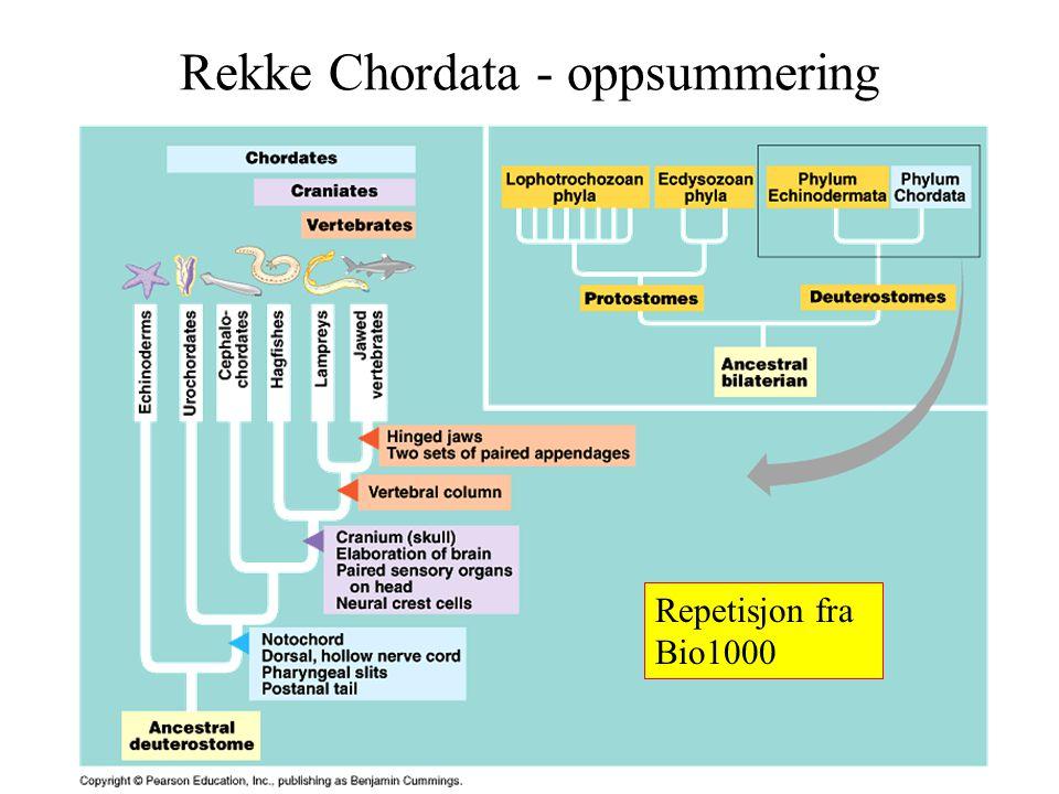 Rekke Chordata - oppsummering