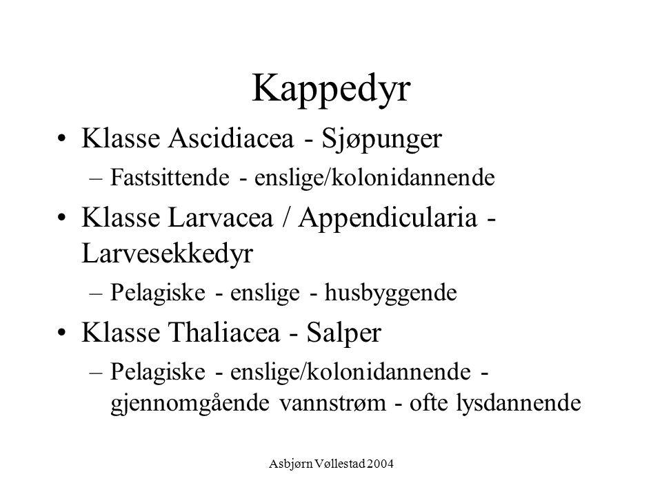 Kappedyr Klasse Ascidiacea - Sjøpunger