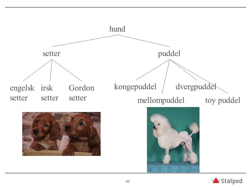 hund setter. puddel. engelsk. setter. irsk. setter. Gordon. setter. kongepuddel. dvergpuddel.