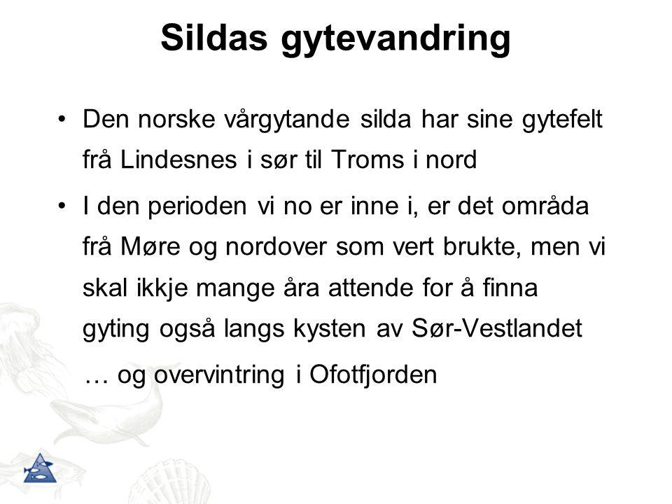 Sildas gytevandring Den norske vårgytande silda har sine gytefelt frå Lindesnes i sør til Troms i nord.