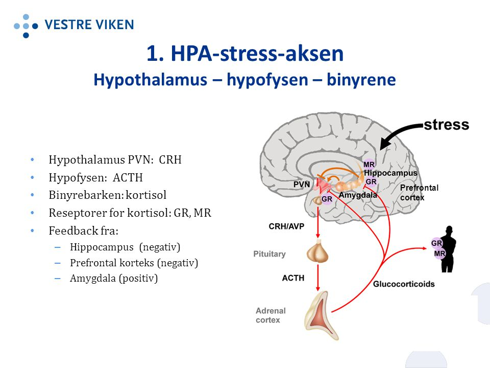 1. HPA-stress-aksen Hypothalamus – hypofysen – binyrene