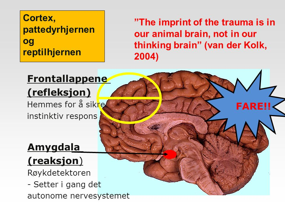 Cortex, pattedyrhjernen og. reptilhjernen. The imprint of the trauma is in our animal brain, not in our thinking brain (van der Kolk, 2004)