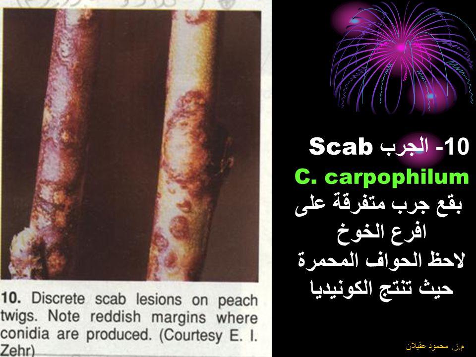 10- الجرب Scab C. carpophilum بقع جرب متفرقة على افرع الخوخ لاحظ الحواف المحمرة حيث تنتج الكونيديا