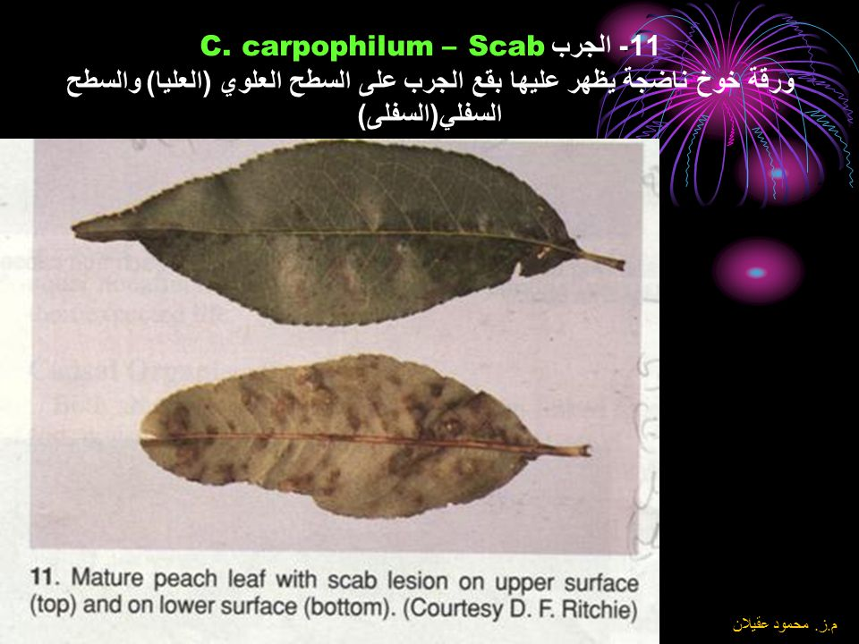 11- الجرب Scab – C. carpophilum ورقة خوخ ناضجة يظهر عليها بقع الجرب على السطح العلوي (العليا) والسطح السفلي(السفلى)