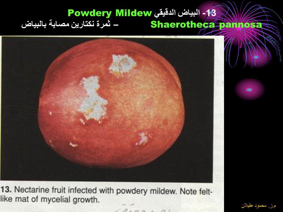 13- البياض الدقيقي Powdery Mildew Shaerotheca pannosa – ثمرة نكتارين مصابة بالبياض