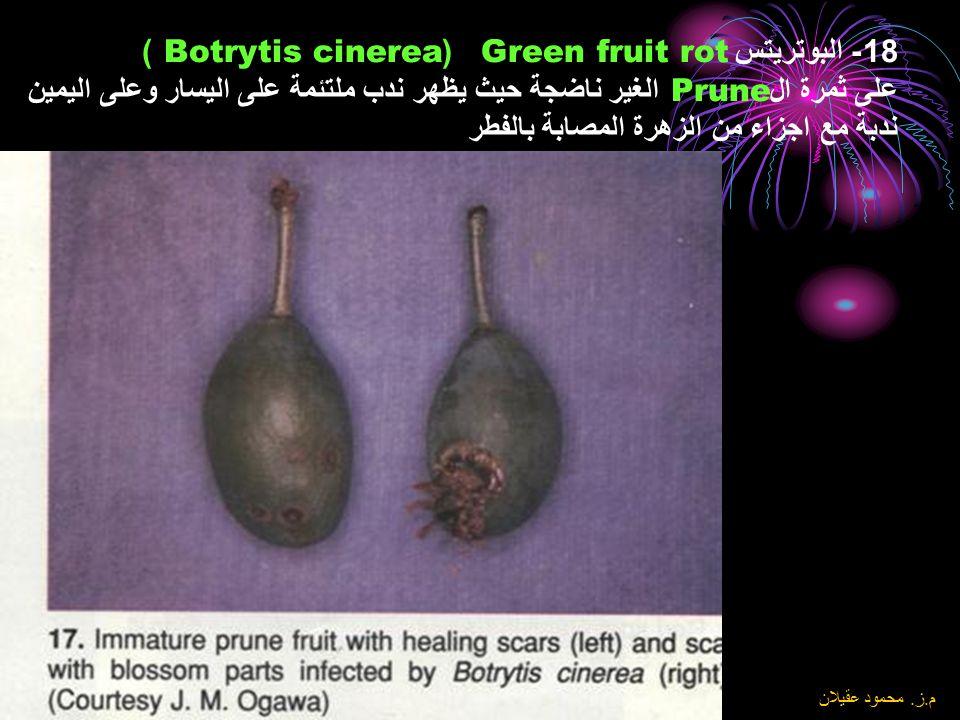 18- البوتريتس Green fruit rot (Botrytis cinerea ) على ثمرة الPrune الغير ناضجة حيث يظهر ندب ملتئمة على اليسار وعلى اليمين ندبة مع اجزاء من الزهرة المصابة بالفطر