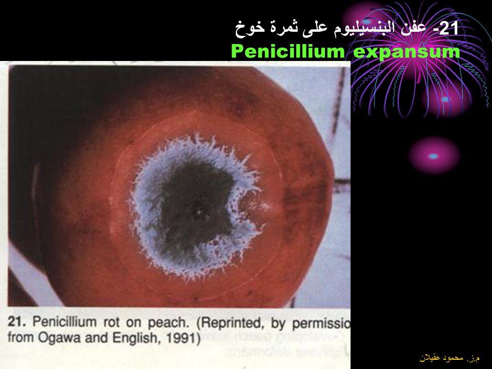 21- عفن البنسيليوم على ثمرة خوخ Penicillium expansum