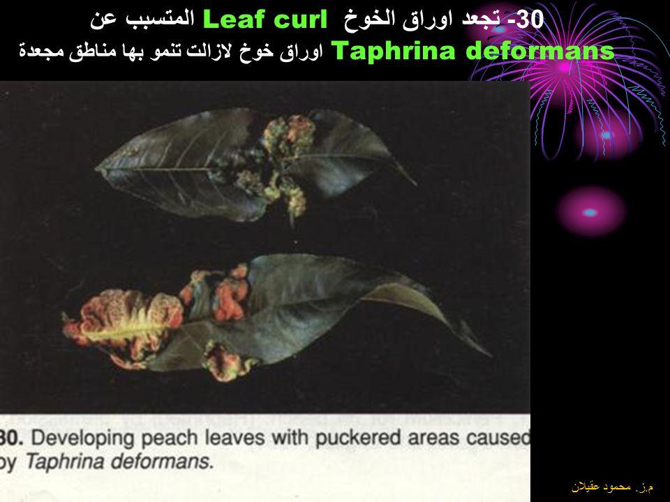 30- تجعد اوراق الخوخ Leaf curl المتسبب عن Taphrina deformans اوراق خوخ لازالت تنمو بها مناطق مجعدة