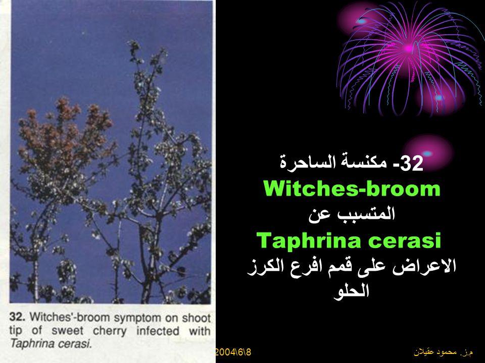 32- مكنسة الساحرة Witches-broom المتسبب عن Taphrina cerasi الاعراض على قمم افرع الكرز الحلو
