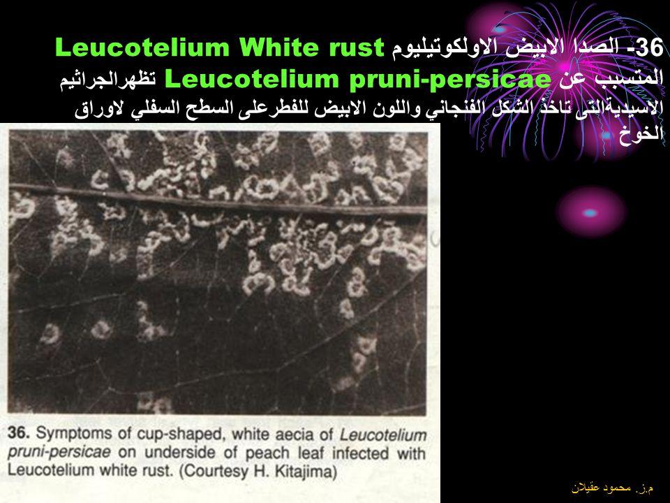 36- الصدا الابيض الاولكوتيليوم Leucotelium White rust المتسبب عن Leucotelium pruni-persicae تظهرالجراثيم الاسيديةالتى تاخذ الشكل الفنجاني واللون الابيض للفطرعلى السطح السفلي لاوراق الخوخ
