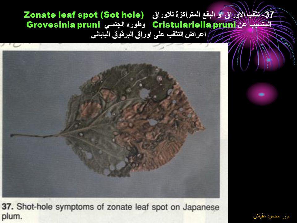 37- تثقب الاوراق او البقع المتراكزة للاوراق Zonate leaf spot (Sot hole) المتسبب عن Cristulariella pruni وطوره الجنسي Grovesinia pruni اعراض التثقب على اوراق البرقوق الياباني