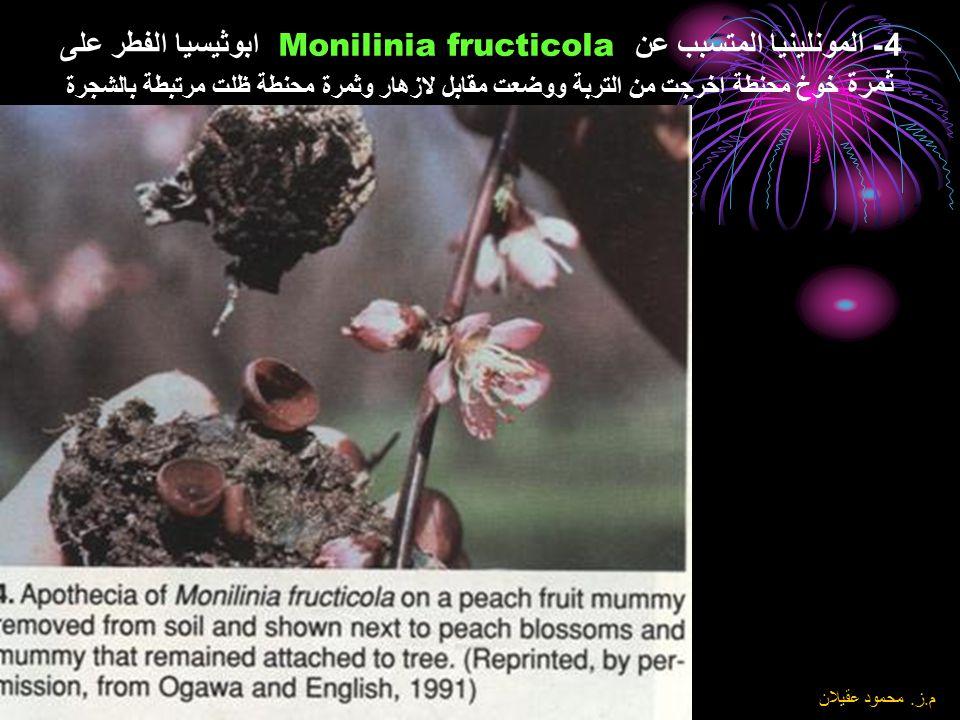 4- المونلينيا المتسبب عن Monilinia fructicola ابوثيسيا الفطر على ثمرة خوخ محنطة اخرجت من التربة ووضعت مقابل لازهار وثمرة محنطة ظلت مرتبطة بالشجرة