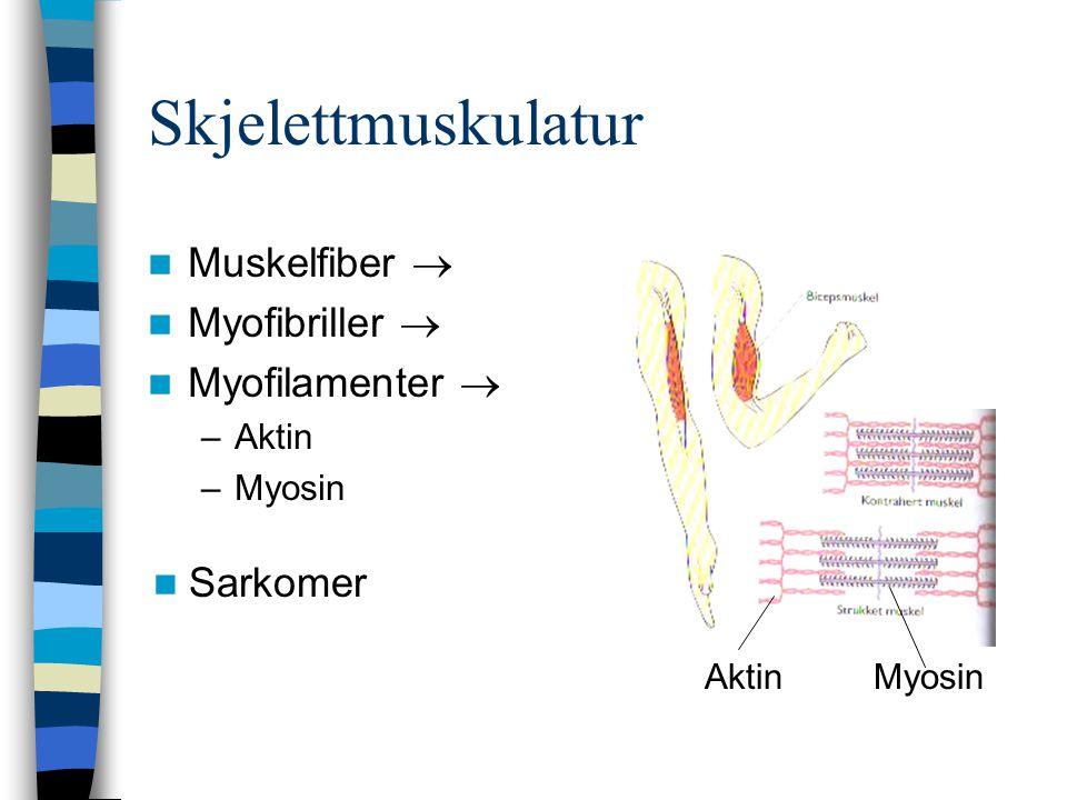 Skjelettmuskulatur Muskelfiber  Myofibriller  Myofilamenter 