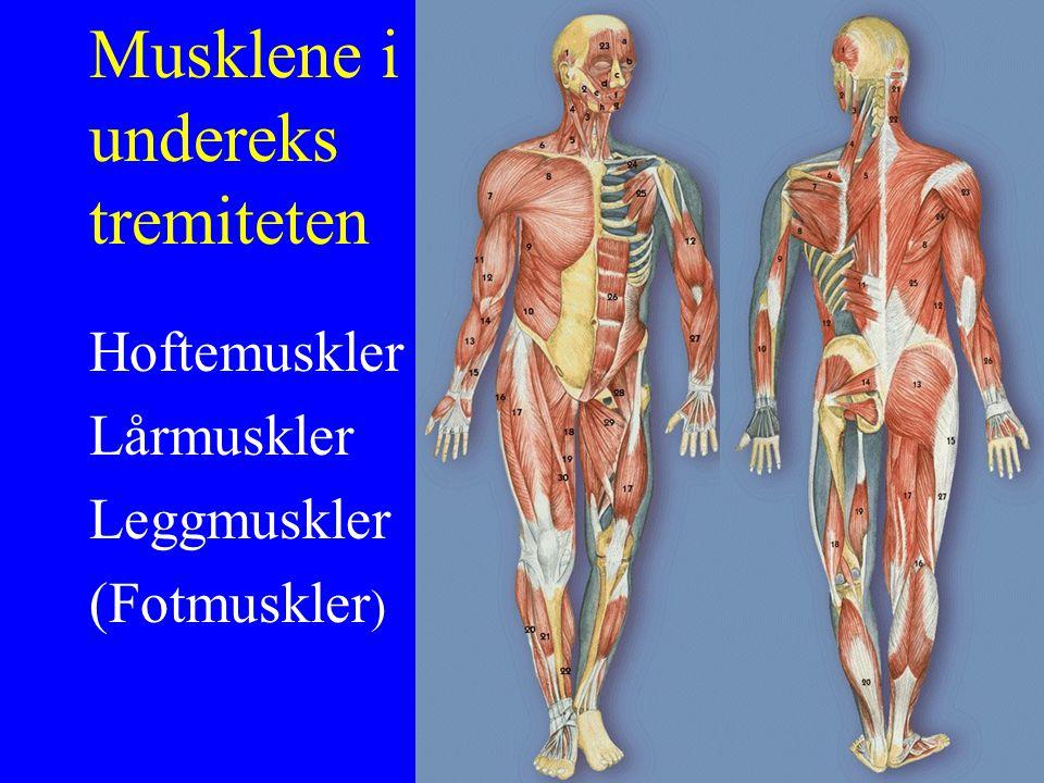 Musklene i undereks tremiteten