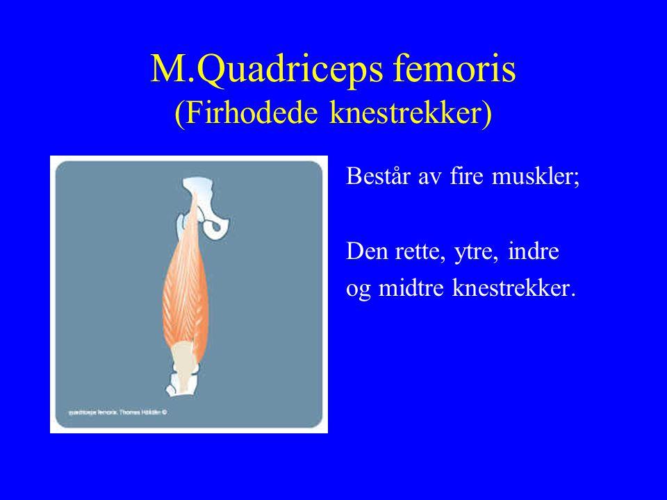 M.Quadriceps femoris (Firhodede knestrekker)