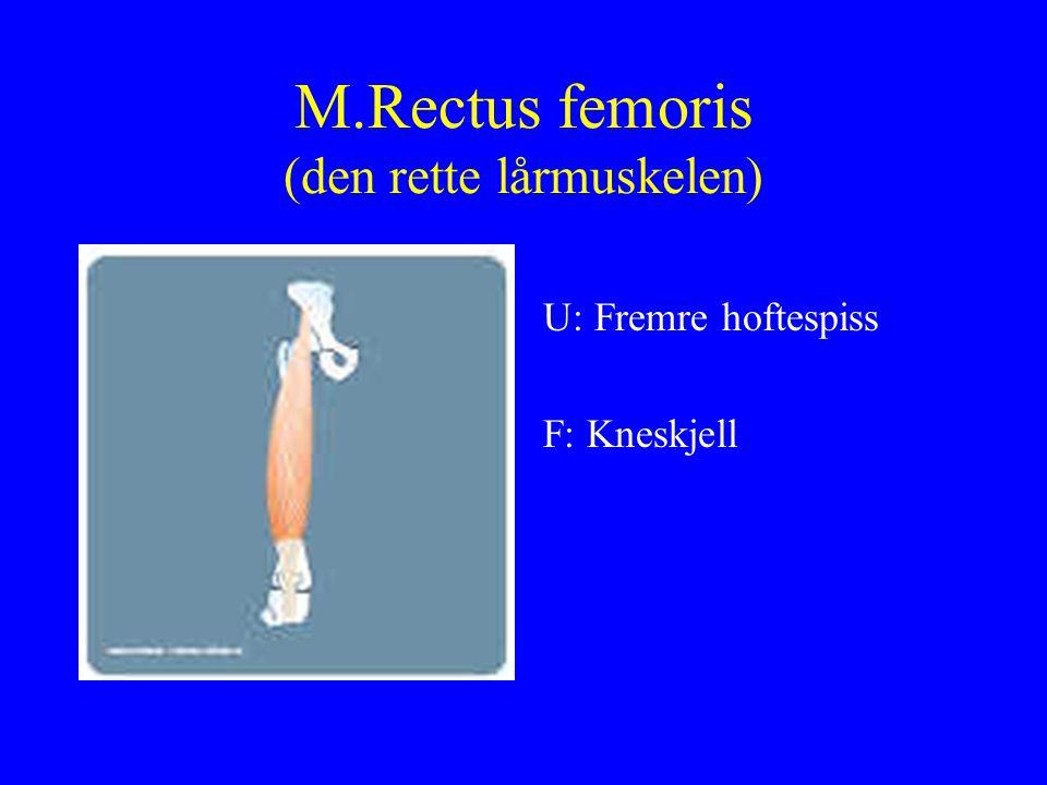 M.Rectus femoris (den rette lårmuskelen)