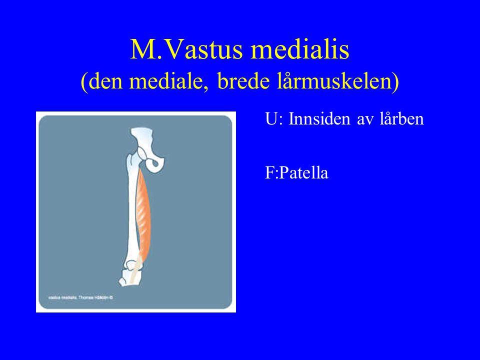 M.Vastus medialis (den mediale, brede lårmuskelen)