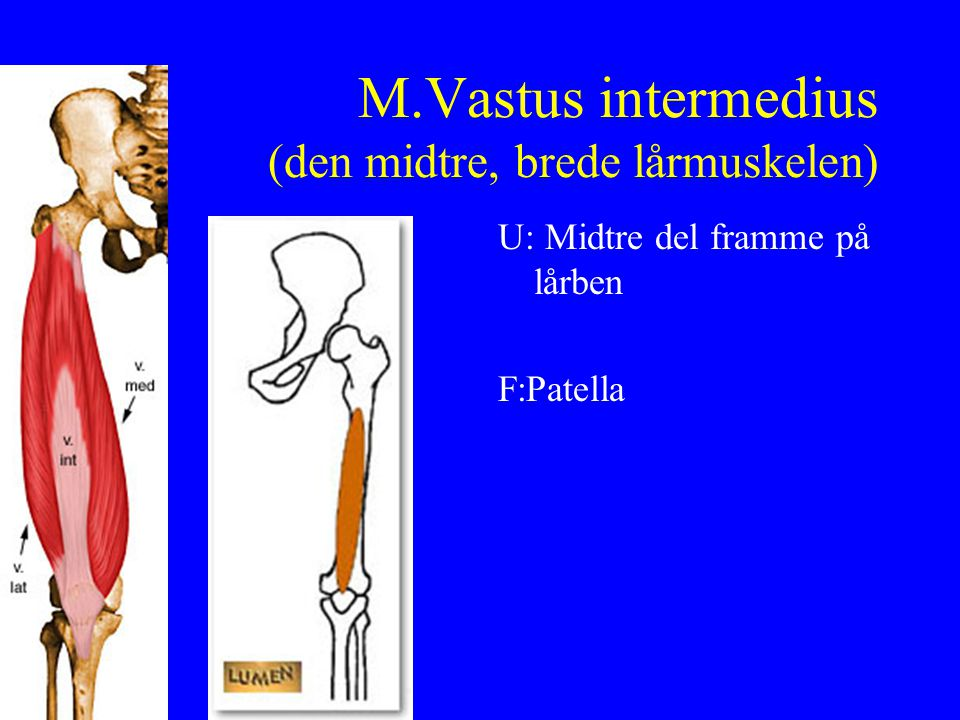 M.Vastus intermedius (den midtre, brede lårmuskelen)