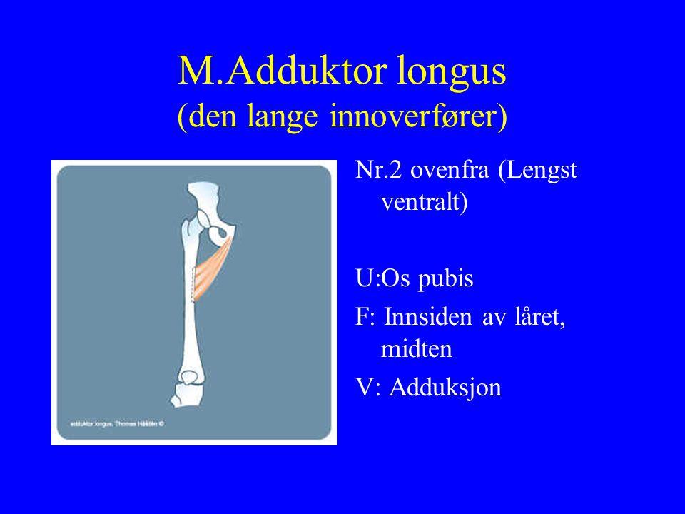 M.Adduktor longus (den lange innoverfører)