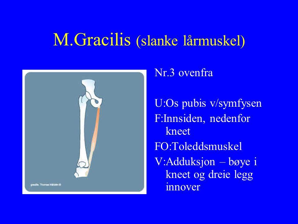M.Gracilis (slanke lårmuskel)