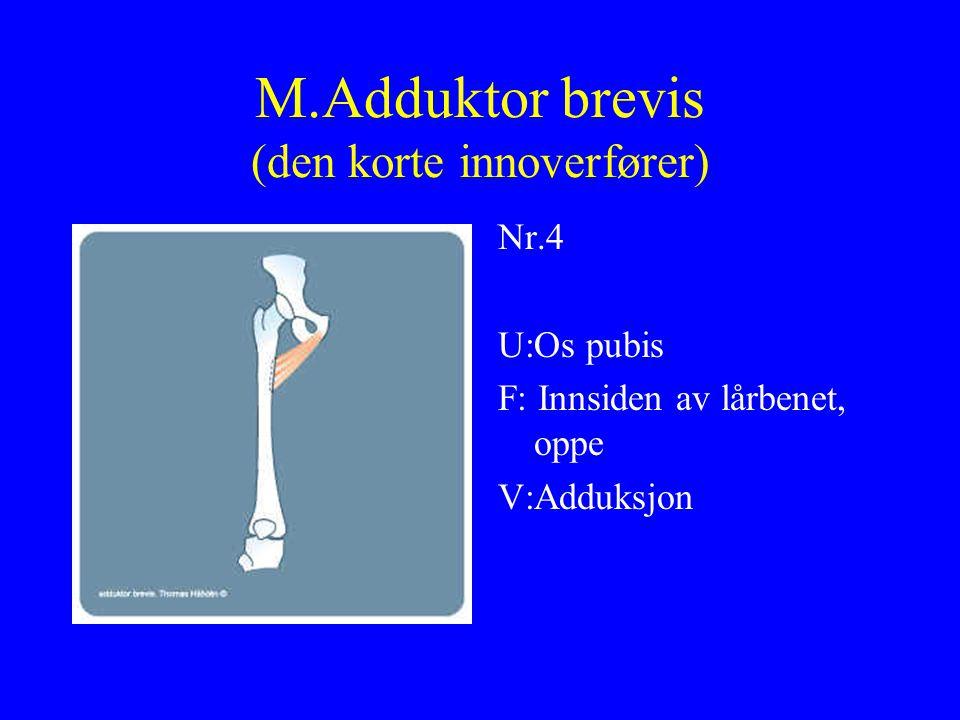 M.Adduktor brevis (den korte innoverfører)