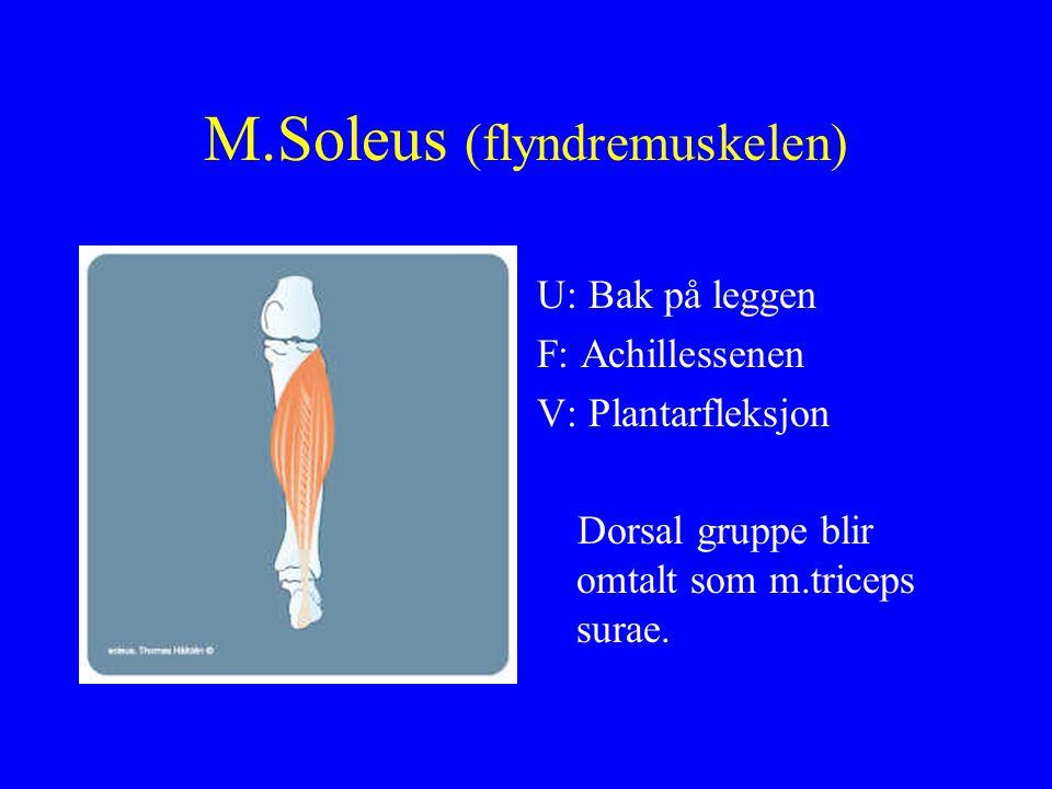 M.Soleus (flyndremuskelen)