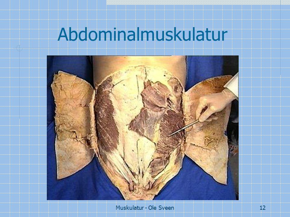 Abdominalmuskulatur Muskulatur - Ole Sveen