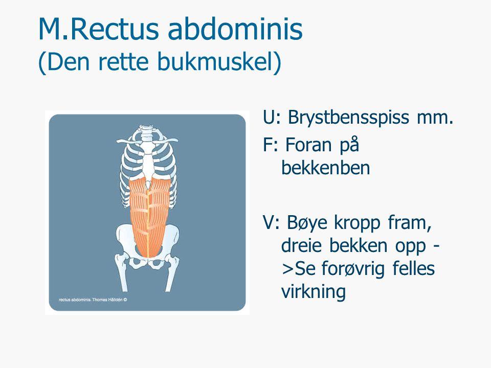 M.Rectus abdominis (Den rette bukmuskel)