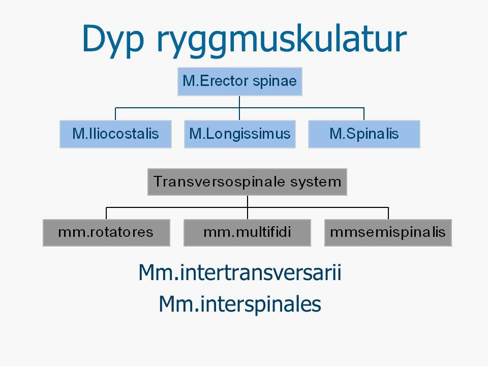 Mm.intertransversarii Mm.interspinales