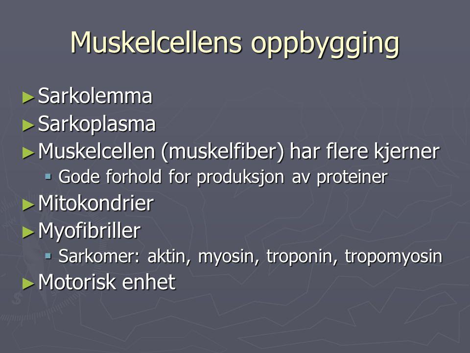 Muskelcellens oppbygging