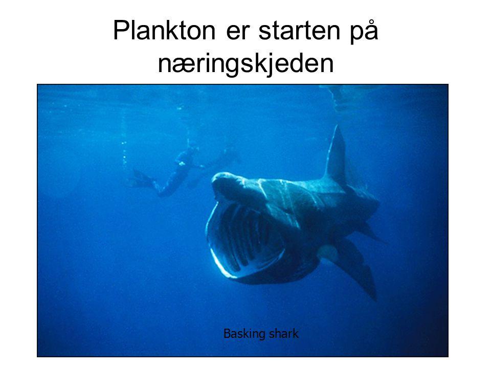 Plankton er starten på næringskjeden