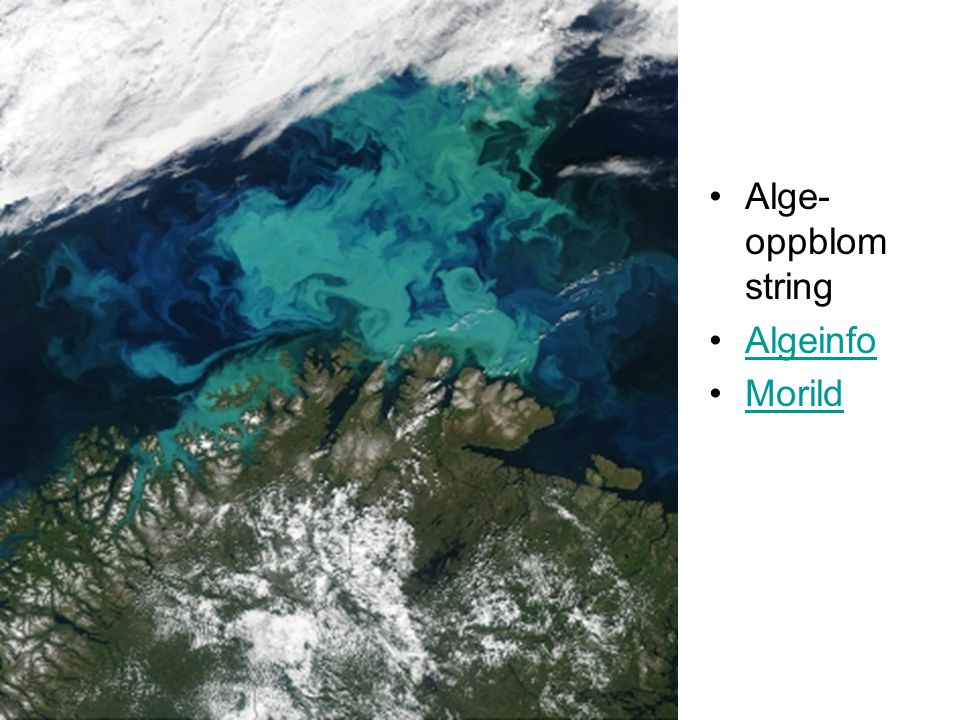 Alge-oppblomstring Algeinfo Morild