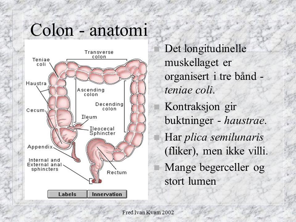 Colon - anatomi Det longitudinelle muskellaget er organisert i tre bånd - teniae coli. Kontraksjon gir buktninger - haustrae.