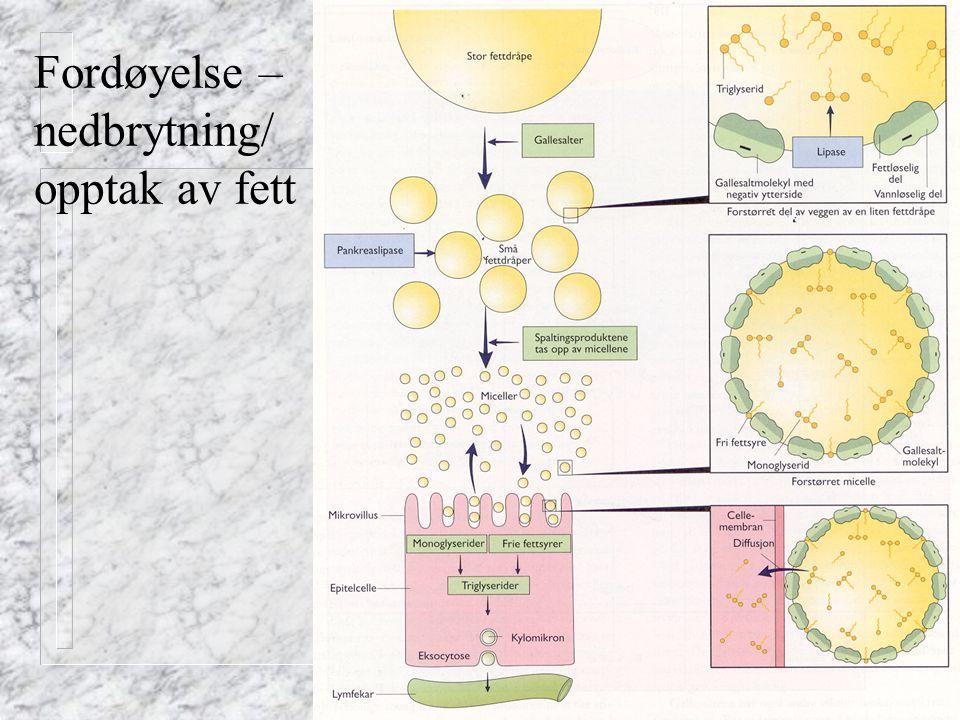 Fordøyelse – nedbrytning/ opptak av fett