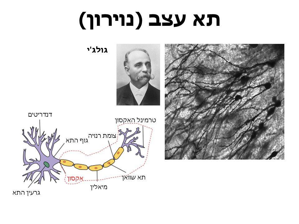 תא עצב (נוירון) גולג י דנדריטים טרמינל האקסון צומת רנויה גוף התא