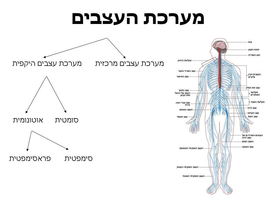 מערכת העצבים מערכת עצבים היקפית מערכת עצבים מרכזית אוטונומית סומטית