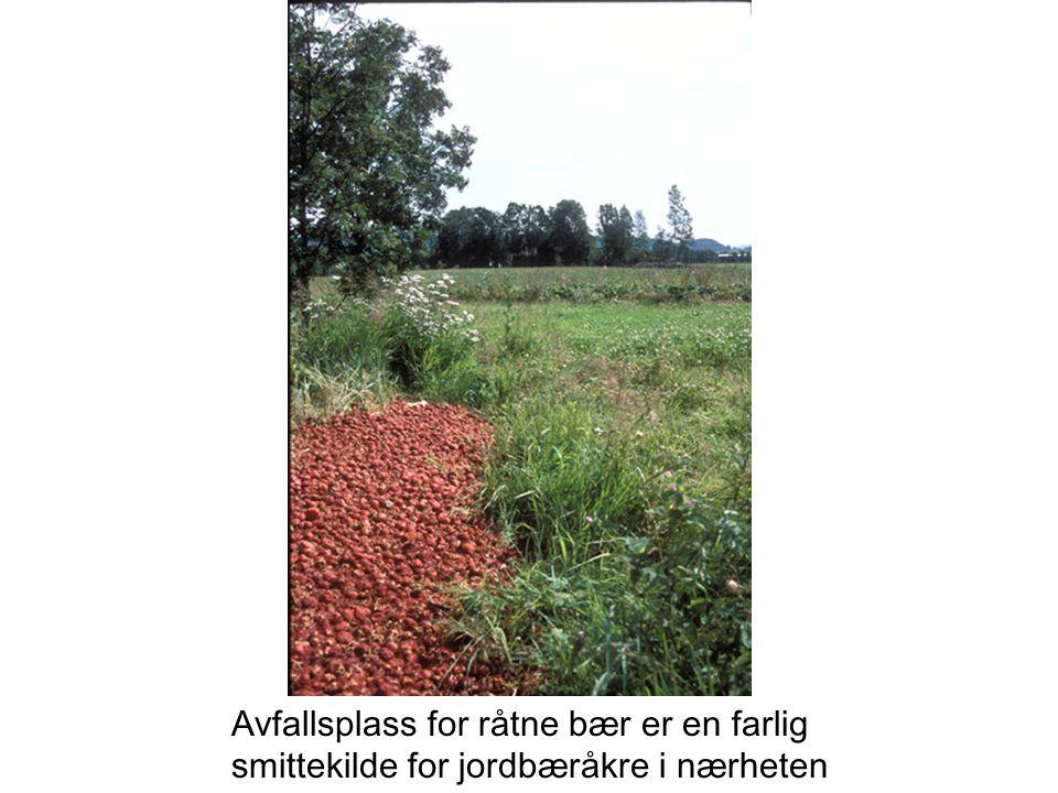 Avfallsplass for råtne bær er en farlig smittekilde for jordbæråkre i nærheten
