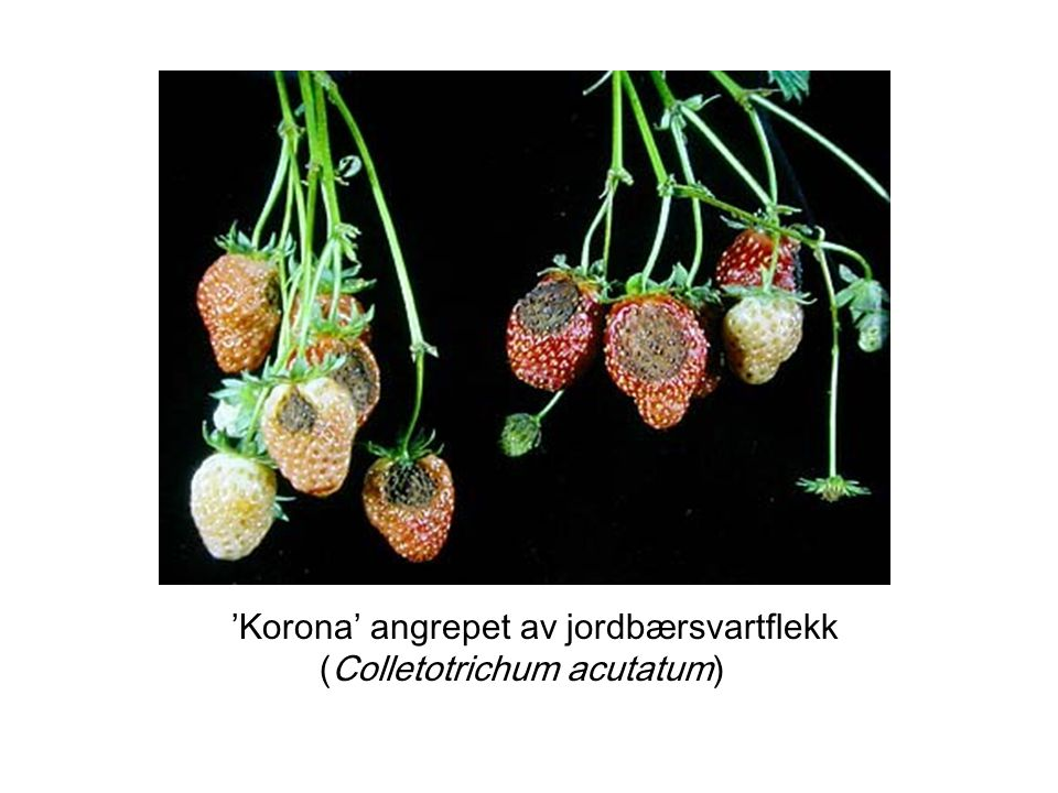 'Korona' angrepet av jordbærsvartflekk (Colletotrichum acutatum)